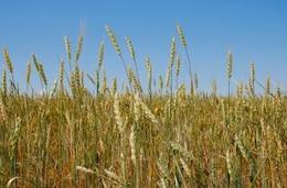 el trigo de cosecha