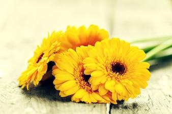 En mal estado rústico Gerber flor de la floración