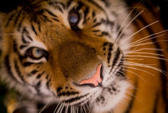 Encontrarse con un tigre