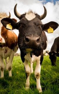 Encuentro cercano con una vaca