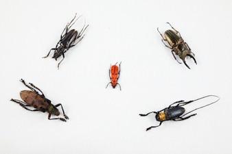 Escarabajo mezcla