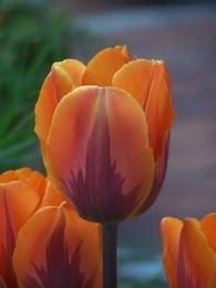especial los tulipanes holandeses en la primavera de
