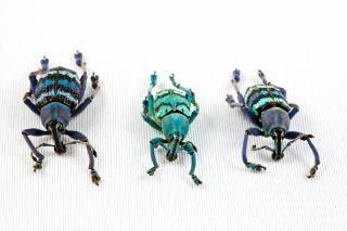 Eupholus escarabajo insectos trío