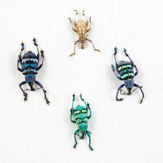 Eupholus escarabajo mezcla closeup