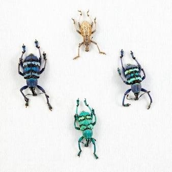 Eupholus escarabajo mezcla
