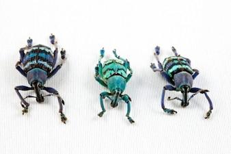 Eupholus escarabajo trío