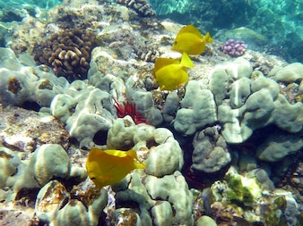 Fauna submarina de peces marinos de coral hawaii