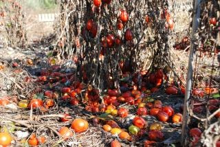 final de la temporada, tomates verdes,