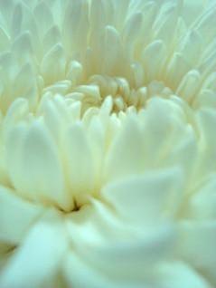 flor blanca close up