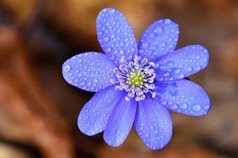 Flor de primavera. Hermosa floración de las primeras pequeñas flores en el bosque. Hepatica. (Hepatica nobilis)