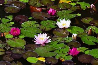 Flor. Hermoso lirio de agua en flor en la superficie del agua. Fondo borroso colorido natural. (Nymphaea)