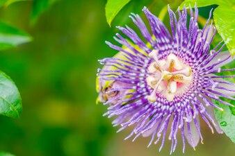 Flor púrpura hermosa.