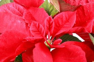 Flor roja flor de pascua