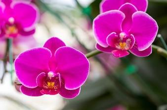 Flor rosada de la orquídea del phalaenopsis
