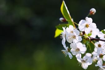 Florece rama de árbol contra el fondo borroso