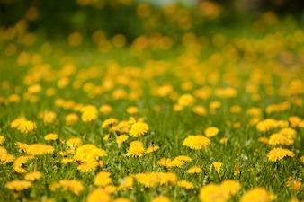 Flores amarillas en el césped