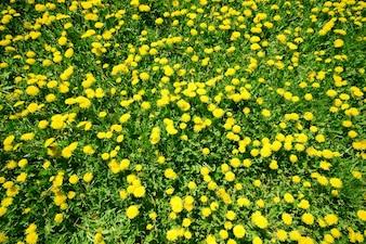 Flores amarillas vistas desde arriba