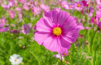 Flores de cosmos desenfoque suave en el tono pastel vintage retro para background.Valentines concepto de día.