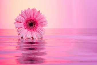 Flores de gerbera