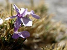 flores de montaña, de flores