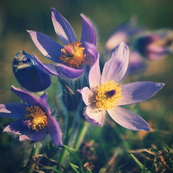 Flores de primavera. Flor y sol maravillosamente florecientes de pasque con un fondo coloreado natural. (Pulsatilla grandis)