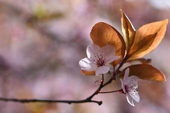 Flores de primavera. Rama de árbol bellamente floreciente. Cereza - Sakura y sol con un fondo coloreado natural.