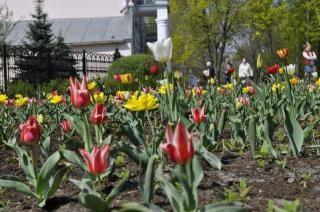 flores de tulipán
