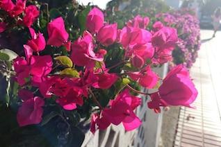 Flores rosadas en la calle
