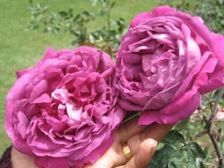 Flores - rosas, naturales