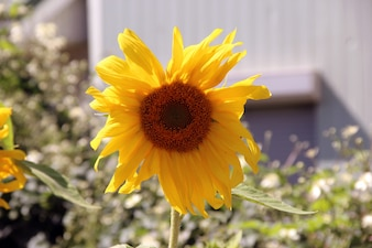 Fondo floral girasol hoja de la naturaleza de fondo de flores