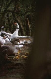 gallina, los pollitos