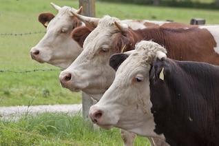 ganados carne vacuna nacional femenino