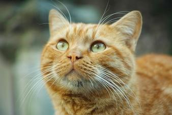 Gato pelirrojo