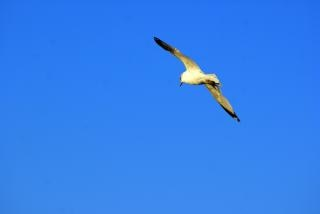 gaviota en vuelo, los animales