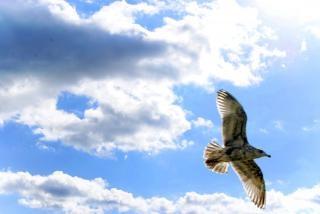 gaviota en vuelo de cerca