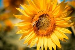 Girasol con una abeja