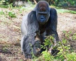 gorila poder