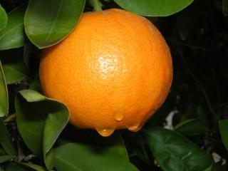 gotas de lluvia sobre las naranjas, los árboles