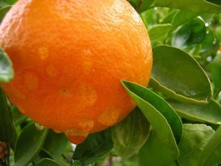 Gotas de lluvia sobre las naranjas, la lluvia