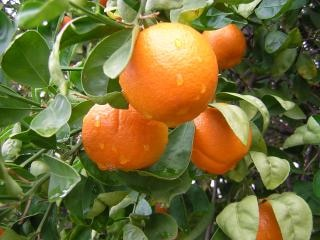 Gotas de lluvia sobre las naranjas, las naranjas