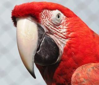 guacamaya roja