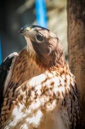 halcón animal, depredador cazador