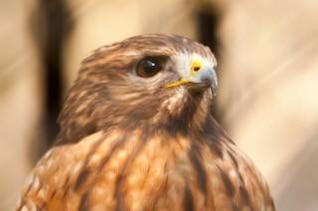 halcón animal, depredador