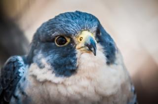 halcón animales