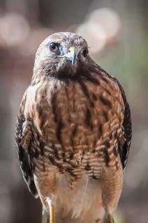 halcón cazador de aves