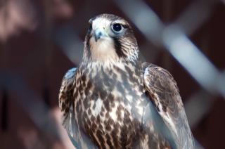 Halcón cazador halcón
