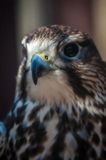 halcón cazador plumas