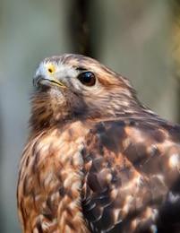 halcón depredador ave