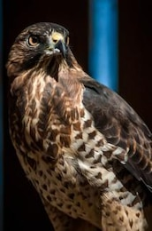 halcón depredador