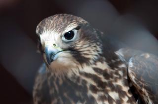 Halcón pájaro, animal,